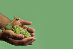 Hands holding a green grape. Horizontal front view of a hard working hand holding up a fresh white grape with green leaf on green background Royalty Free Stock Photo