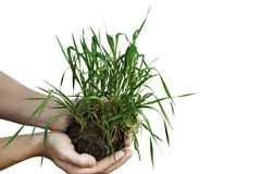 Hands holding small young plant isolated on white background Royalty Free Stock Photography