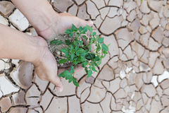 Hands holding green tree sprout. On cracked ground Royalty Free Stock Photos