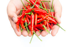 Hands holding a handful of fresh harvested red hot peppers . Selective focus on the chilies. Royalty Free Stock Photography