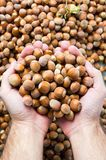 Hands holding hazelnuts on top of a pile. In harvest season Royalty Free Stock Photo