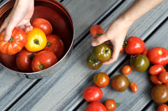 Hands Holding Heirloom Tomatoes on table. Person holding tomatoes with a variety of tomatoes on a wooden table royalty free stock image