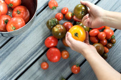 Hands holding heirloom tomatoes on table. Person holding tomatoes with a variety of tomatoes on a wooden table royalty free stock photos