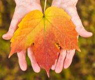 Hands holding a leaf. Elder woman 's hands holding a red leaf Stock Image