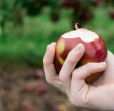Hands holding a macintosh apple Royalty Free Stock Photo