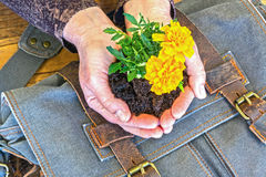 Hands Holding Marigold in Dirt. Hands Holding Marigolds in Dirt With Blue Satchel on Wooden Table Royalty Free Stock Image