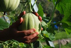 Hands holding melon Royalty Free Stock Photography