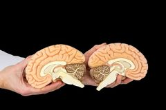 Hands holding model human brains on black background. Hands holding models human brain hemispheres isolated on black background stock photography