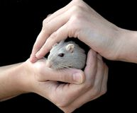 Hands holding mouse. Woman's hands, holding a mouse stock photo