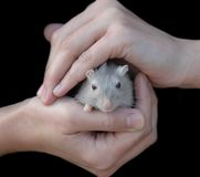 Hands holding mouse. Woman's hands, holding a mouse royalty free stock photography