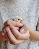 Hands holding a newborn chicken royalty free stock images
