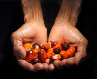 Hands holding Oil palm fruit Royalty Free Stock Photos