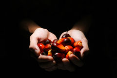 Hands holding oil palm fruits Royalty Free Stock Image