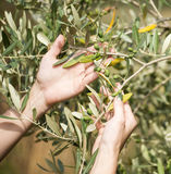 Hands are holding olive tree branches.  Royalty Free Stock Photography