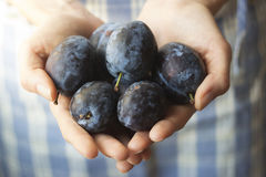 Hands holding organic plums Royalty Free Stock Photos