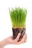 Hands holding organic wheatgrass stock image