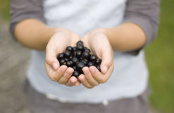 Hands holding out berries. A child holding out blackcurrants in her cupped hands. Soft focus, most of the photo is out of focus Stock Image