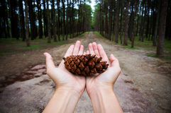 Hands holding pine tree seed show conservative idea. Stock Photos