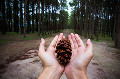 Hands holding pine tree seed show conservative idea. Royalty Free Stock Photo