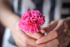 Hands holding a pink carnation flower. Stock Images