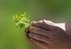 Hands holding plant Royalty Free Stock Photography