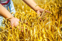 Hands holding plants of wheat Stock Image