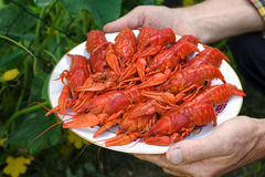 Hands holding a plate full of red crayfish. Royalty Free Stock Photography
