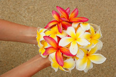 Hands holding plumeria flowers Stock Image