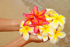 Hands holding plumeria flowers Royalty Free Stock Photos