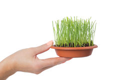 Hands holding a pot with green grass royalty free stock photo