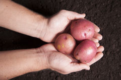 Hands Holding Potatoes Stock Photography