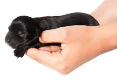 Hands holding  puppy. Hands holding black puppy, isolated on white Stock Photography