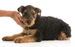 Hands holding puppy Royalty Free Stock Photos