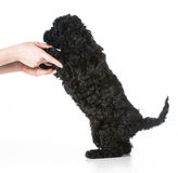 Hands holding puppy Royalty Free Stock Photo