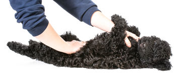 Hands holding puppy Stock Images