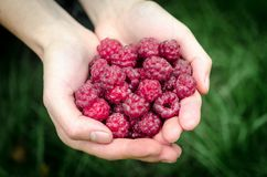 Hands holding raspberries Royalty Free Stock Photos