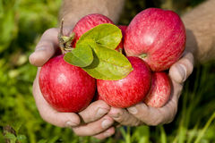 Hands holding red apples Royalty Free Stock Photography