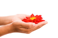 Hands holding red flower stock image