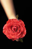 Hands holding red rose Stock Images