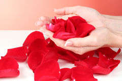 hands holding red rose petals Stock Photos