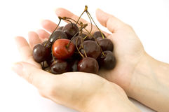 Hands holding ripe cherries. Pair of hands holding bunch of dark cherries with single red one, isolated on white background royalty free stock photos