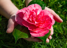 Hands Holding Rose Fallen After Heavy Rain (Rosa Grandiflora). Hands Picking Up Rose (Rosa Grandiflora) From Grass after falling from bush in heavy rain Stock Photo