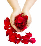 Hands holding rose petals Royalty Free Stock Photos