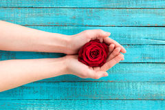 Hands holding rose stock photography