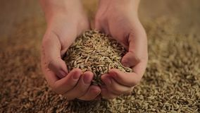 Hands holding rye seeds, farmer offering high quality cereal grain to consumers. Stock footage stock video footage