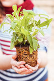 Hands holding sage with roots Royalty Free Stock Images