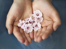 Hands holding sakura flowers on blue background Stock Image