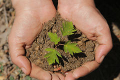 Hands holding sapling Stock Photography