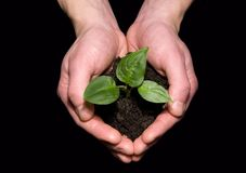 Hands holding sapling Stock Images