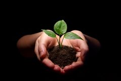 Hands holding sapling Royalty Free Stock Image